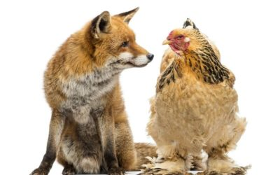 Tout savoir sur la poule Brahma