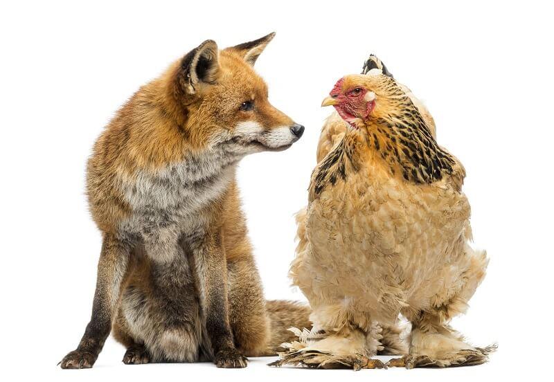 la poule Brahma avec un renard
