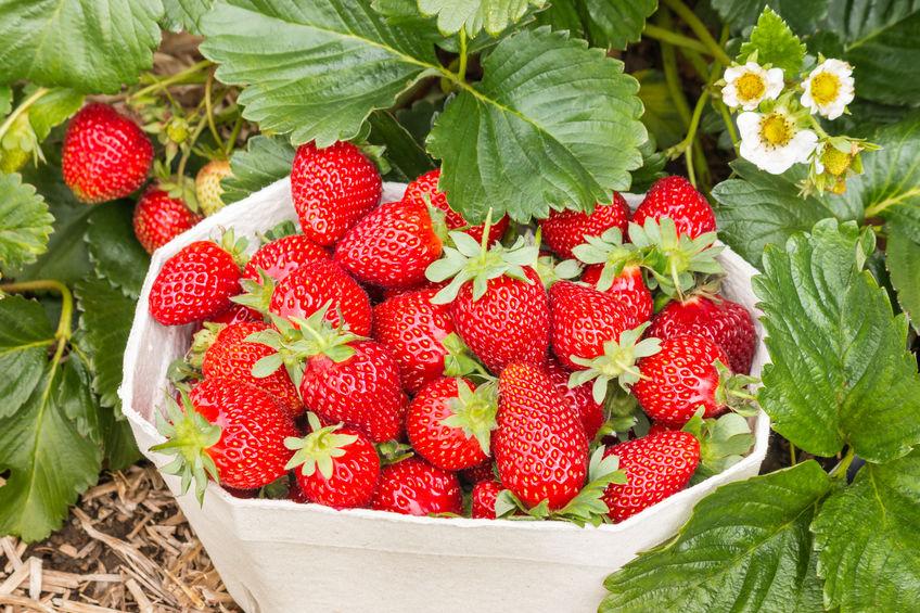 3 astuces pour réussir la culture des fraisiers